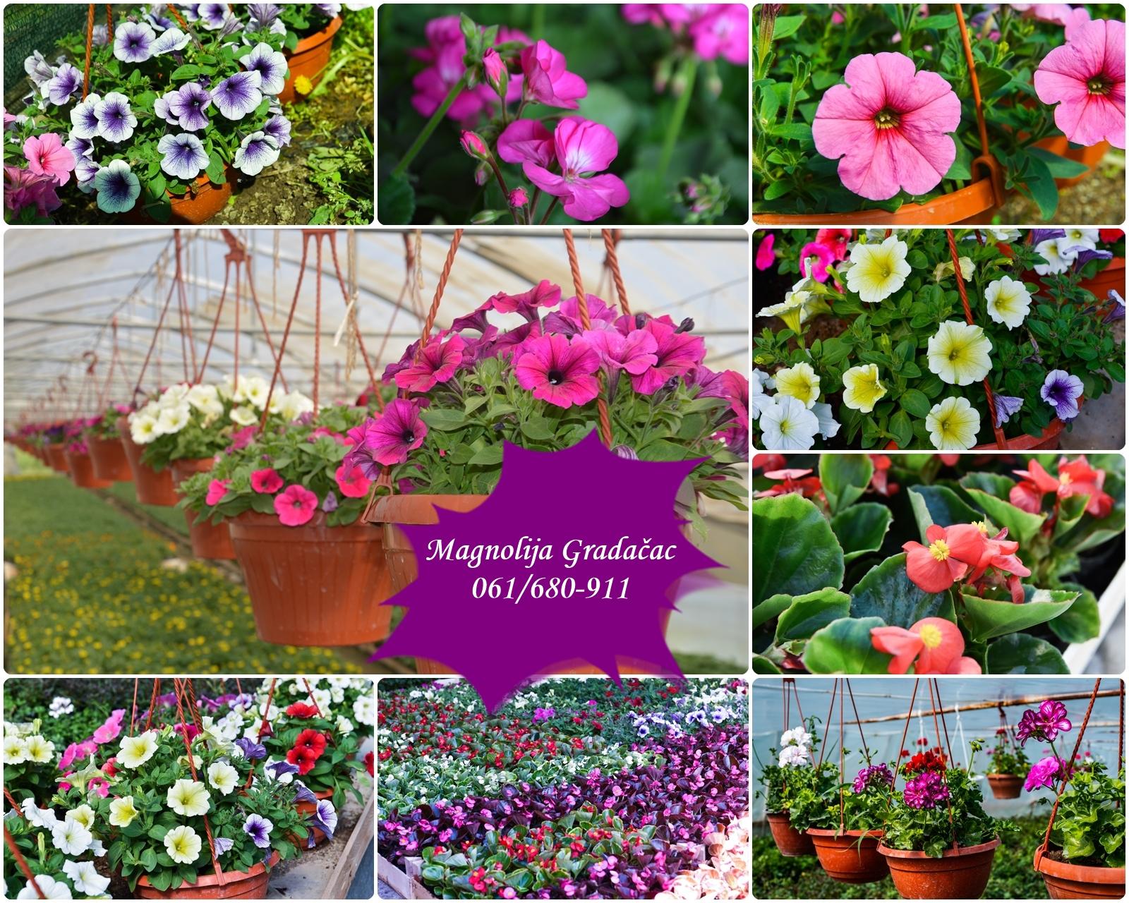 FOTO: Balkoni i dvorišta širom BiH ukrašeni cvijećem gradačačke Magnolije