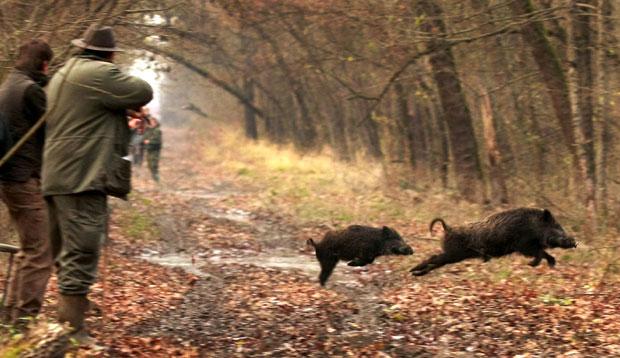 Obavještenje u vezu odstrijela divljih svinja